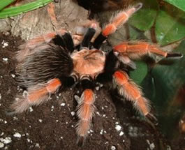 Guerrero Orange-legged tarantuala